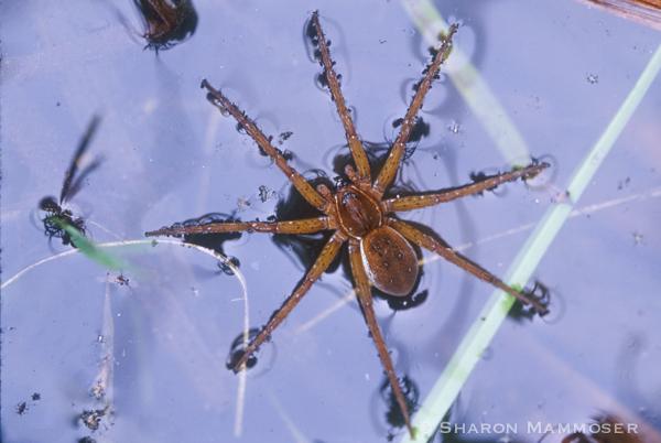 spider-052