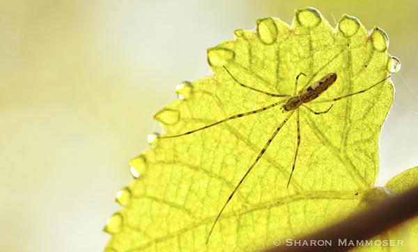 spider--3