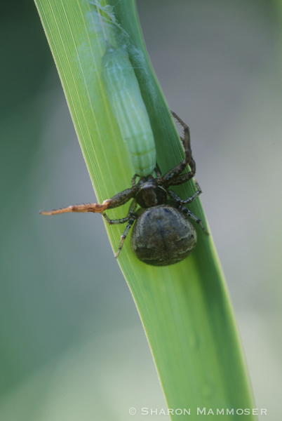 A spider uses venom to subdue the caterpillar so it can eat it.