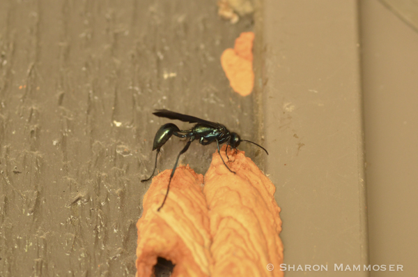 A female mud dauber works on her nest