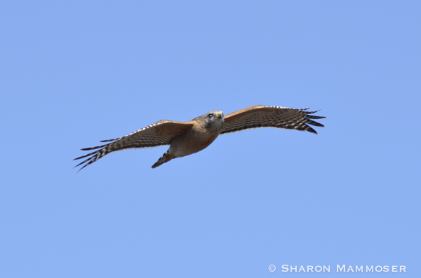 A red-shouldered hawk flies flat