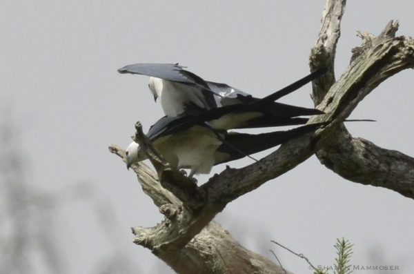 Two swallow-tailed kites mating