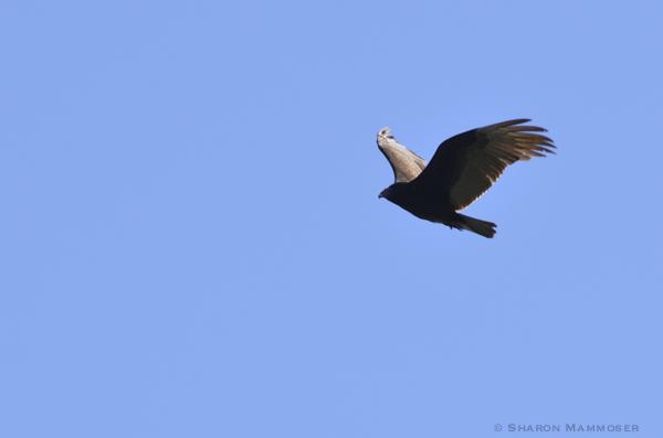 kite-7581