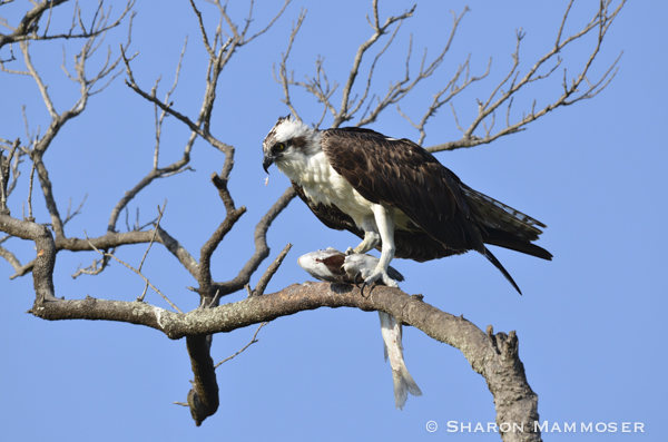 An osprey eating a fish