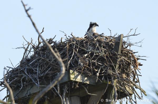 An osprey on a nesting platform
