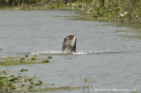 An osprey dives into the water to snag a fish