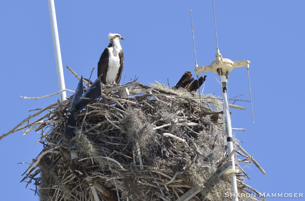 They don't seem all that fussy about where they nest