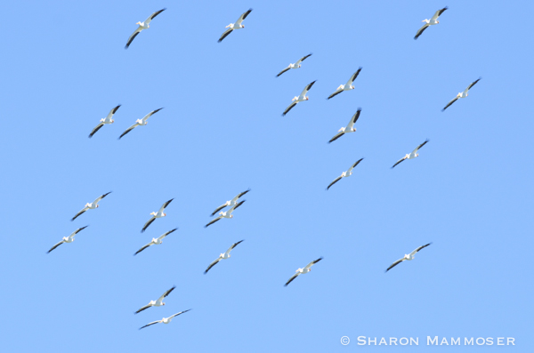 A flock of white pelicans high above
