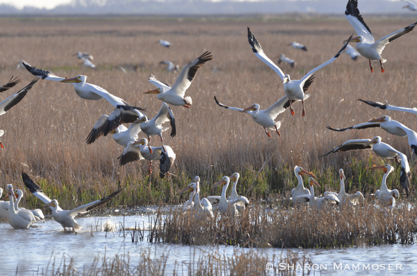 White pelicans at a wetland in Kansas