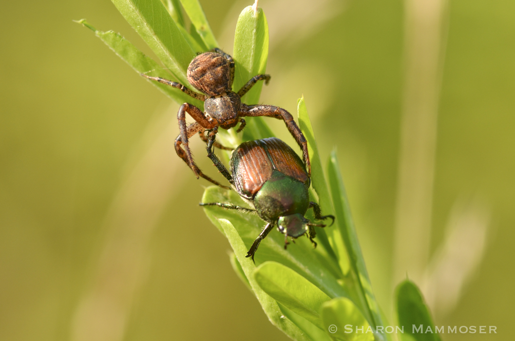 A crab spider with a beetle. These spiders do not build webs.