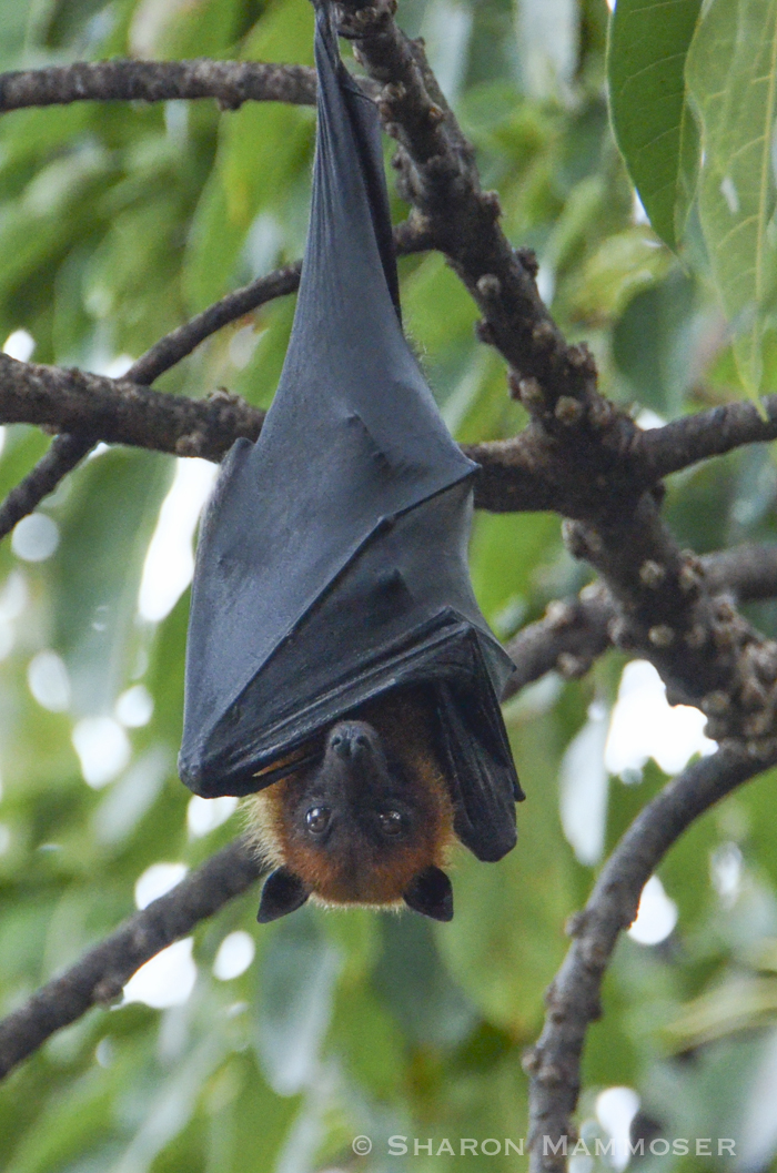 A Lyle's flying fox from Thailand--these have a 3 foot wingspan!