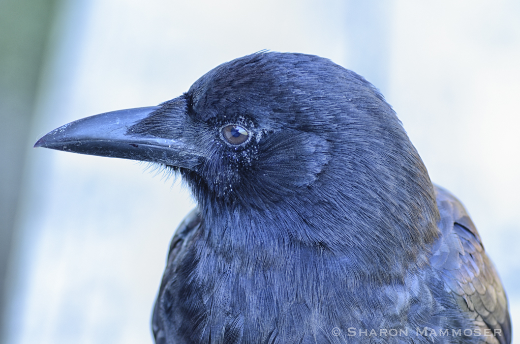 Crows are very smart