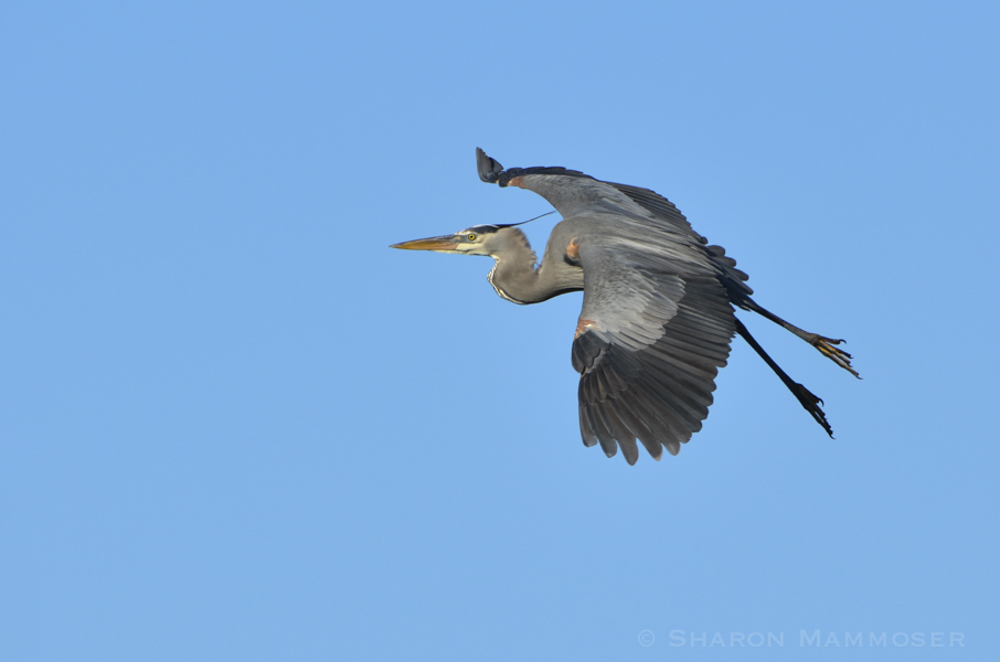 Herons like this great blue, fly with their necks in an S-shape