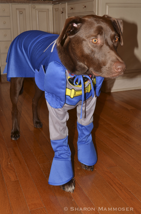 Our dog Schroeder's Halloween costume!