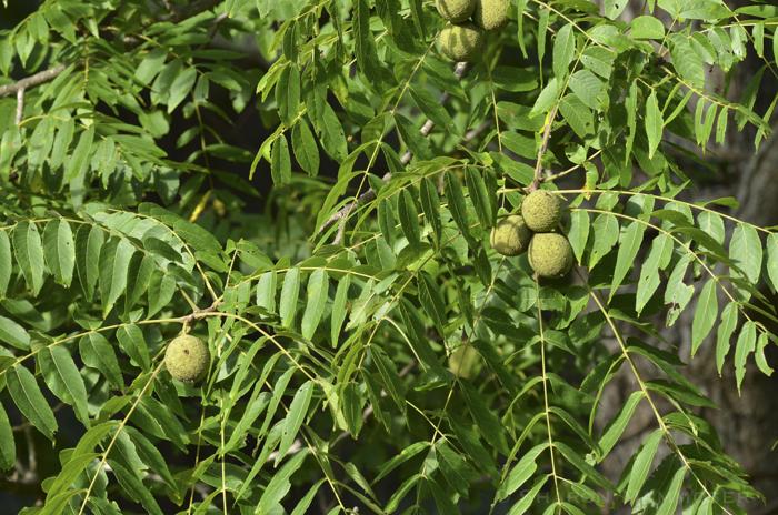 nuts33-1254