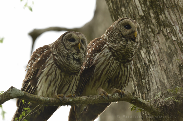 A pair of barred owls in Florida
