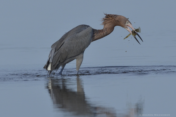 Reddish egrets eat fish, crayfish and other crust