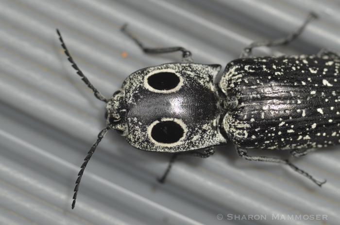 wasp-4264