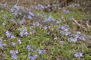 Creeping Phlox decorates the forest floor