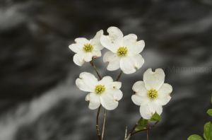 Dogwoods by the stream