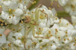 A crab spider hides in plain sight