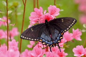 Black form of Eastern Tiger Swallowtail