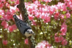 A nuthatch pauses by the azaleas