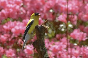 Which is more beautiful--the gold finch or the azaleas?