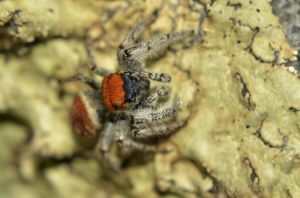 A red jumping spider