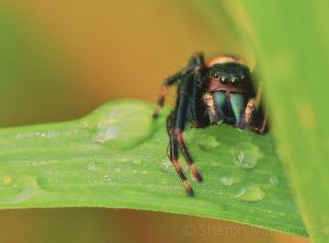 A jumping spider checks me out
