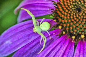 A crab spider waits