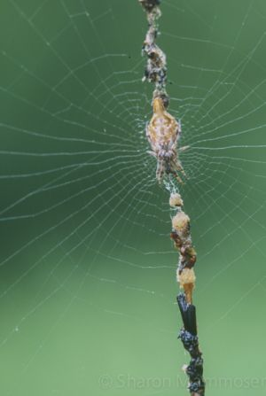 This spider puts its prey in its web... for decoration?