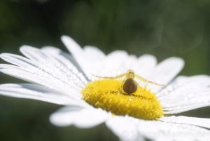 A crab spider waits patiently for lunch