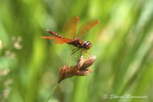 Eastern Amberwing Male