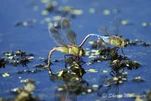 Mating Pondhawk dragonflies