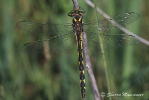 Spiketail