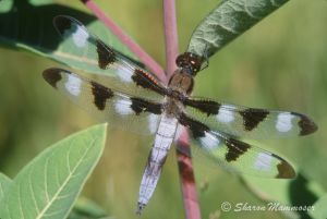 A tweleve-spotted skimmer male