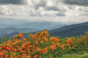 Flame Azaleas at Roan Mountain