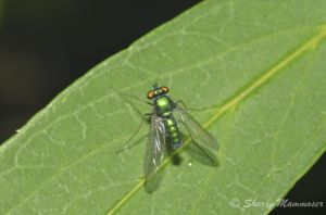 An iridescent fly