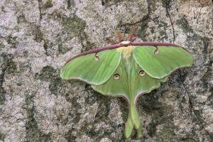 Luna moth!