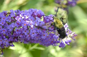 A clearwing hummingbird moth
