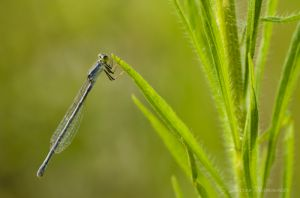 Damselfly in the grass