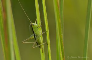 Katydid in the grass