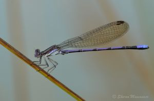A purple damselfly!