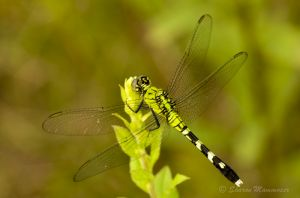 Female Eastern Pondhawk dragonfly