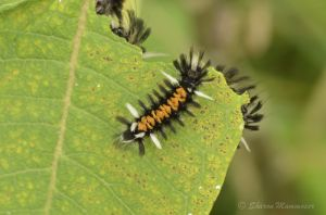 A Monarch Tussock Moth Caterpillar
