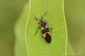 A milkweed bug