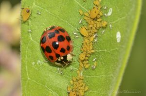 A Ladybug with aphids