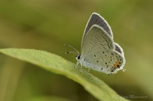 Hairstreak butterfly