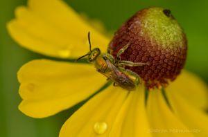 An Iridescent fly